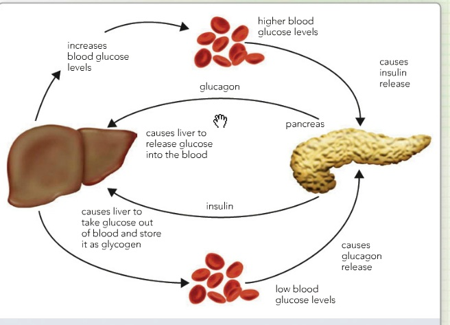 Production of Glucose by the Liver